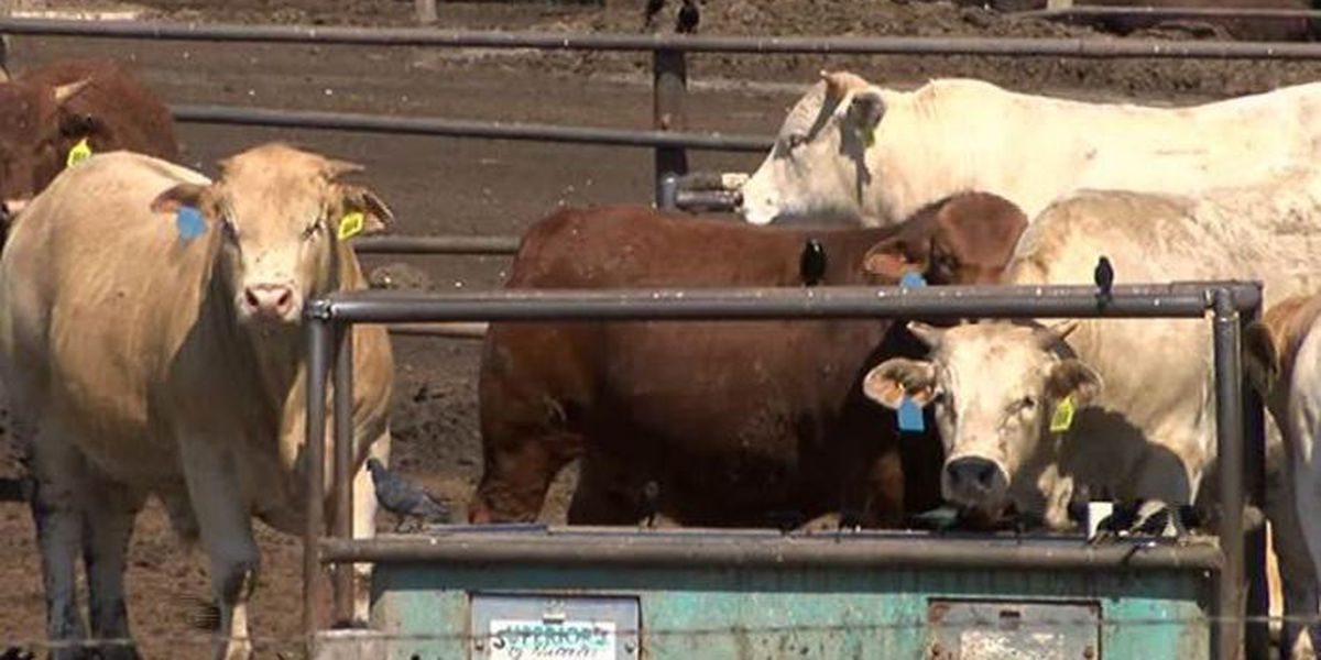 Watch for wandering cattle on county roads