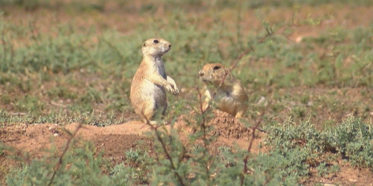 Plague found in Muleshoe prairie dogs, city says no risk to Lubbock