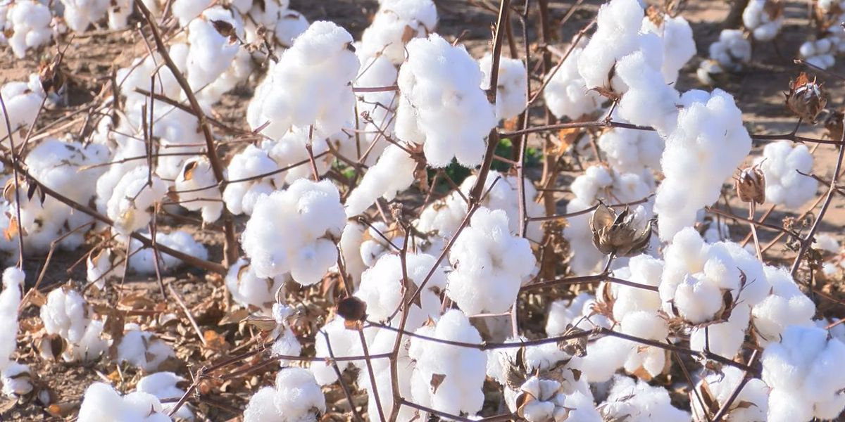 Congressman Arrington working to include cotton in Farm Bill supplemental