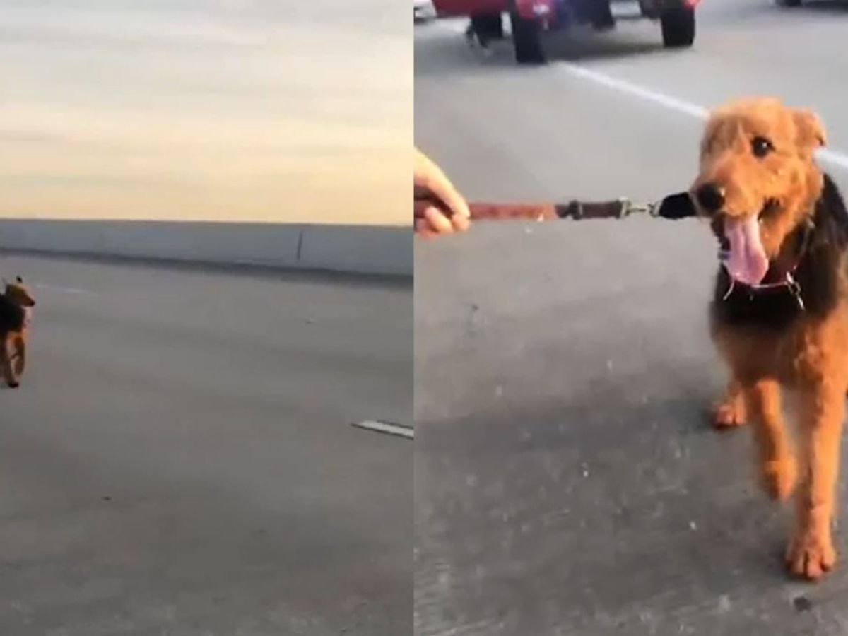 Good Samaritans on busy highway stop to catch dog running through traffic