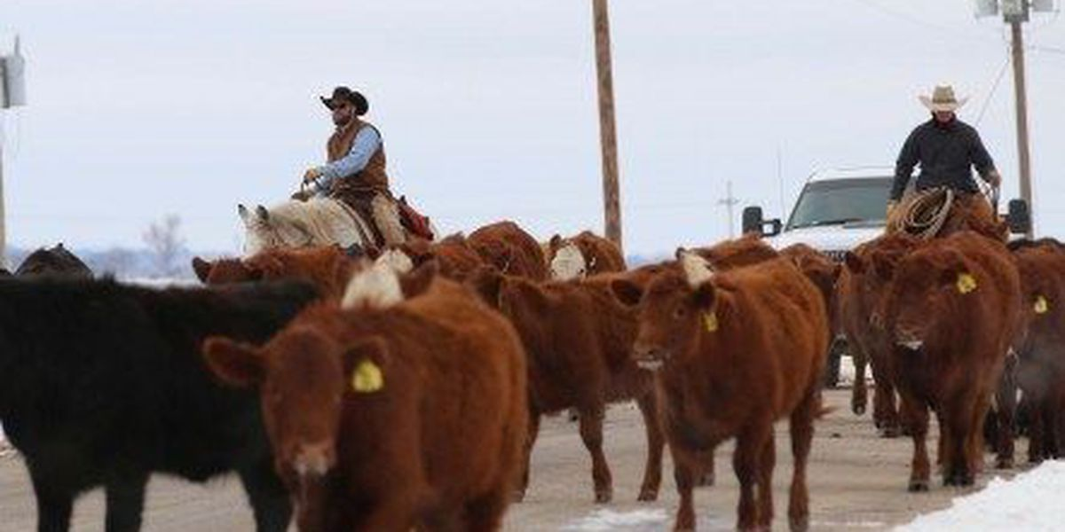 Gaines Co. law enforcement seeking help to return loose cattle