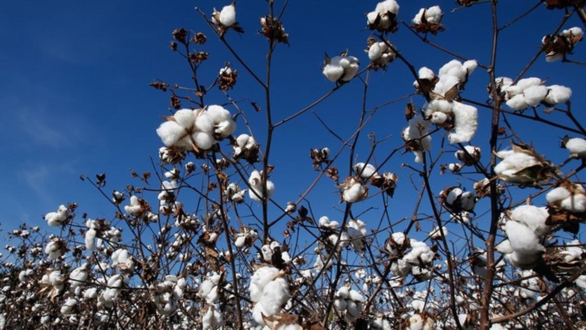 Tech, USDA host groundbreaking on new cotton classifying facility