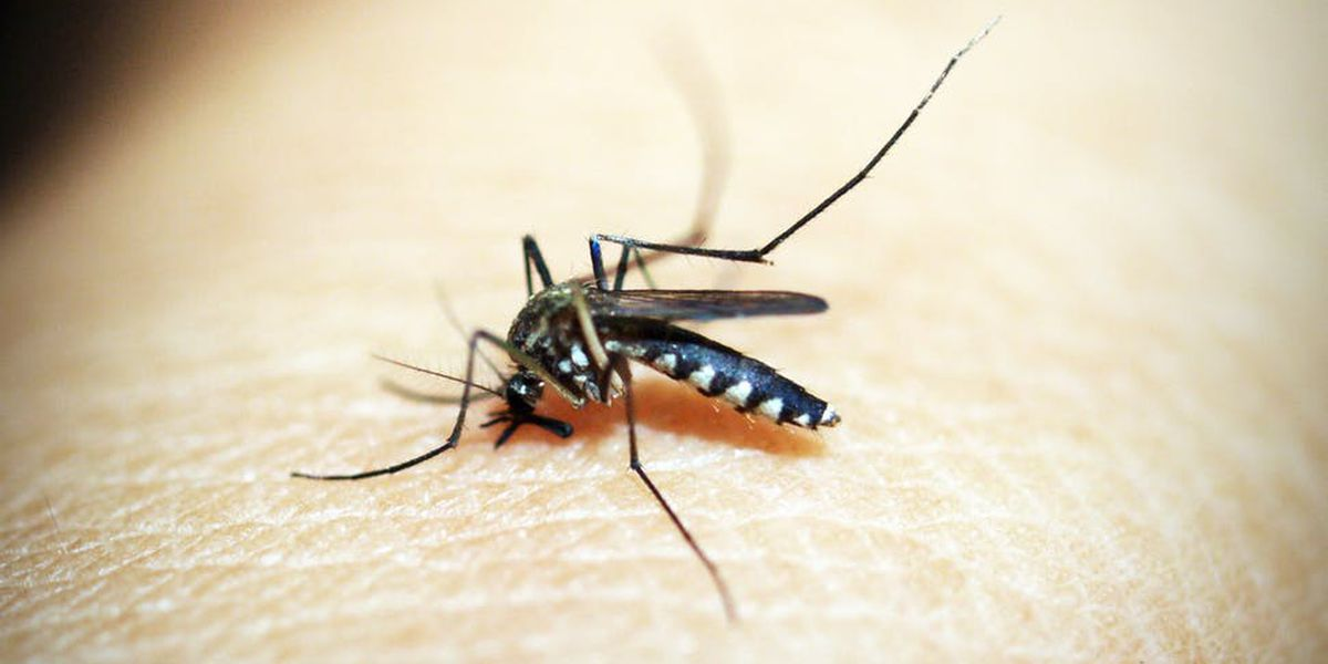 St. Louis Encephalitis Virus and West Nile Virus found in Lubbock mosquitoes