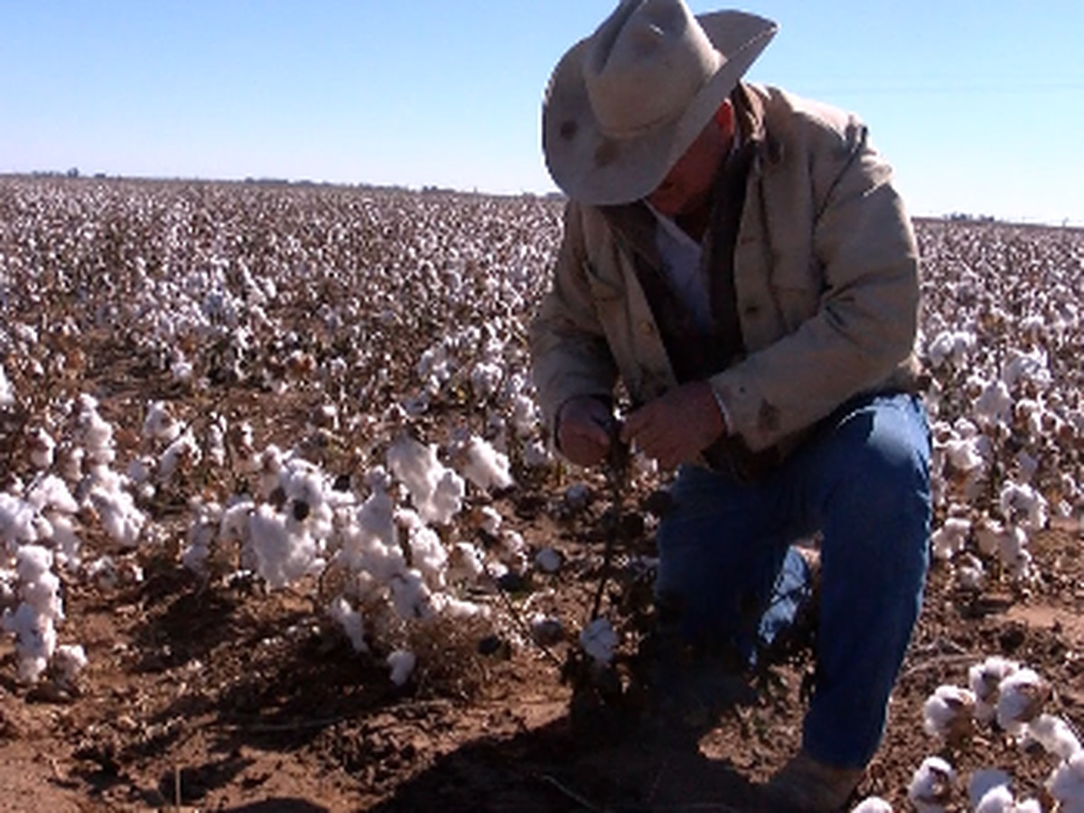 Cotton harvest put on pause after freezing weather