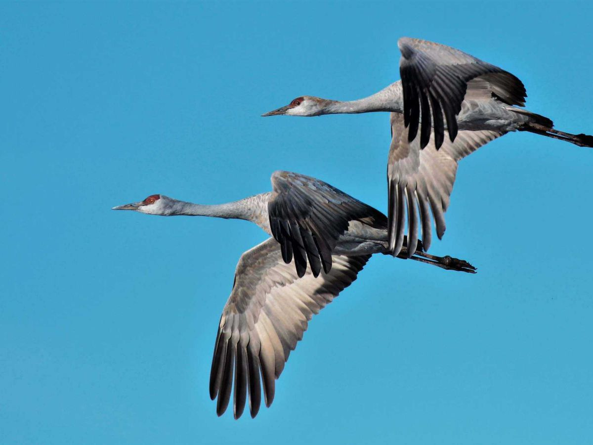 Illegally dumped Sandhill Crane found in dumpster near Texas Tech fraternity