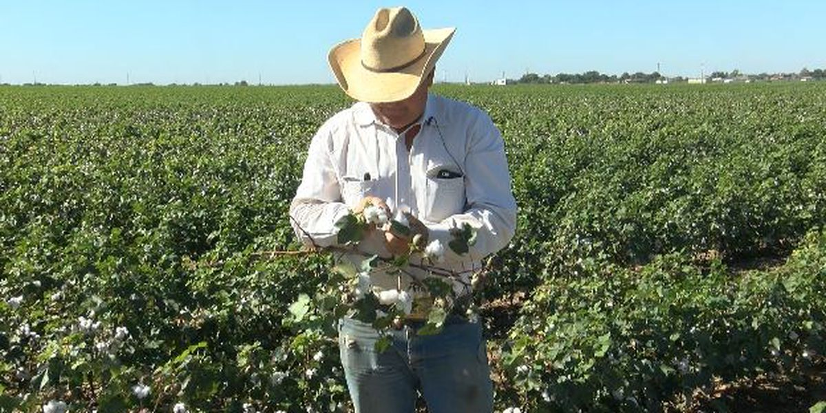 First frost could be good news for Idalou cotton producer