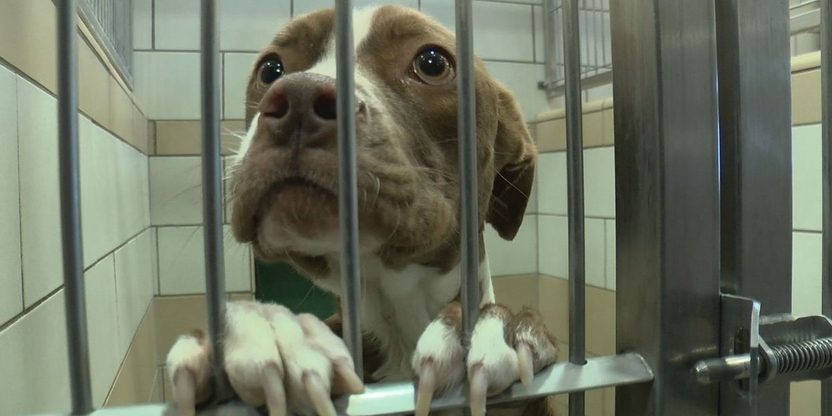 KCBD Investigates: More than 20 animals a day euthanized at Lubbock Animal Shelter