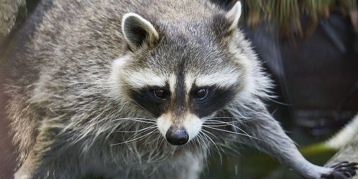 HEALTH ALERT: Raccoon in Lubbock tests positive for rabies