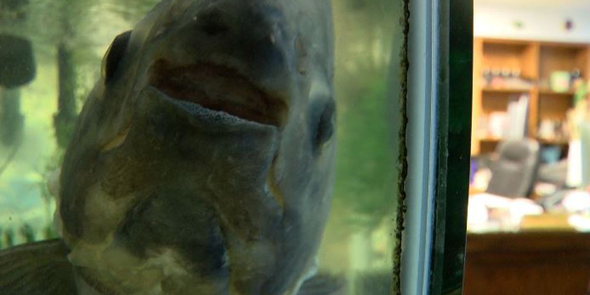 Levelland doctor entertains patients with 17-year-old pet piranha
