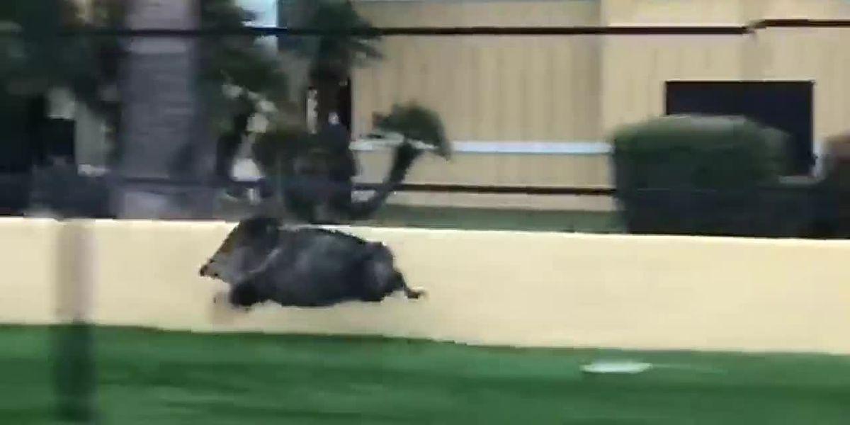 WATCH: Javelina caught speeding in Arizona
