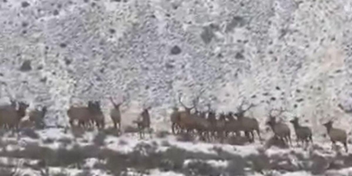 Hundreds of elk run across highway in Washington