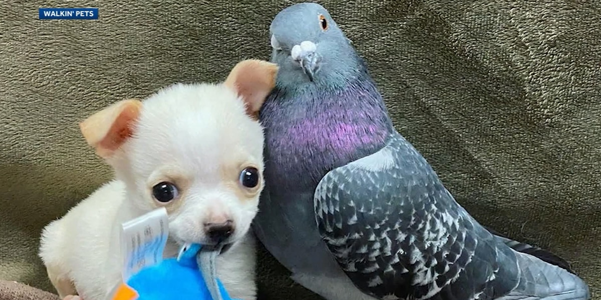 Herman the pigeon supports Lundy the puppy, a dog who can't walk, as the dog gets a wheelchair