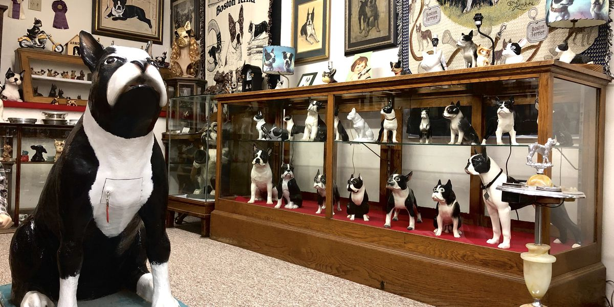 It's a dog lovers dream, an entire museum dedicated to the Boston Terrier