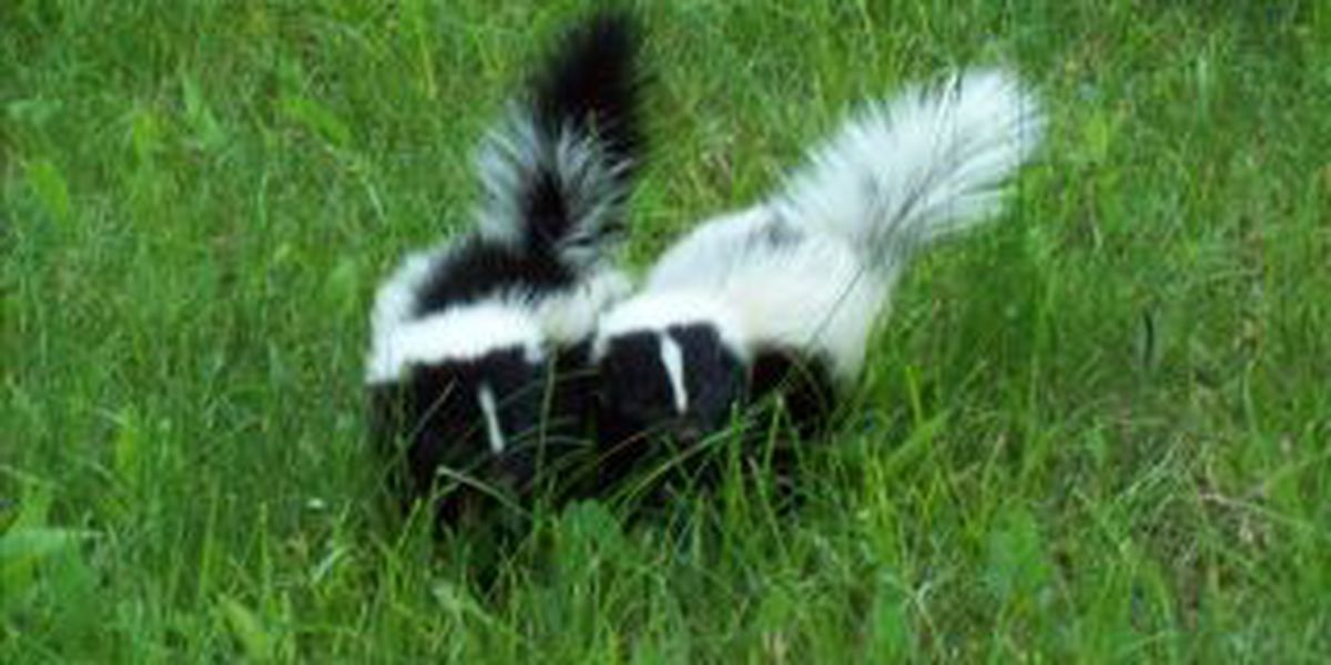 Three positive cases of rabies found in Hale County