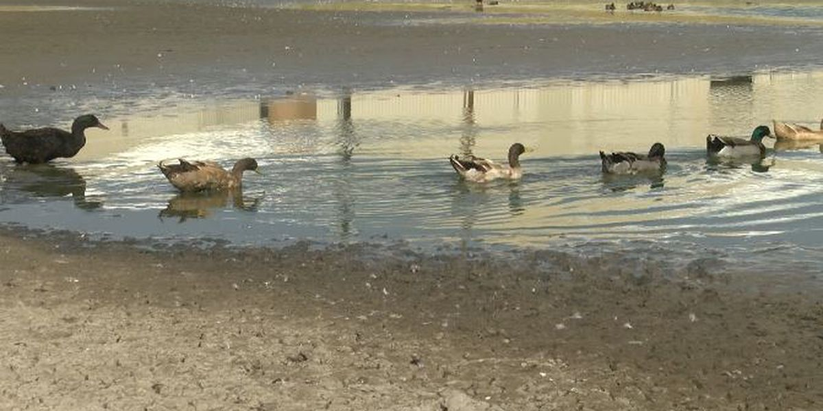 Lubbock man asking for return of plastic pools used to help ducks in Charles Guy Park