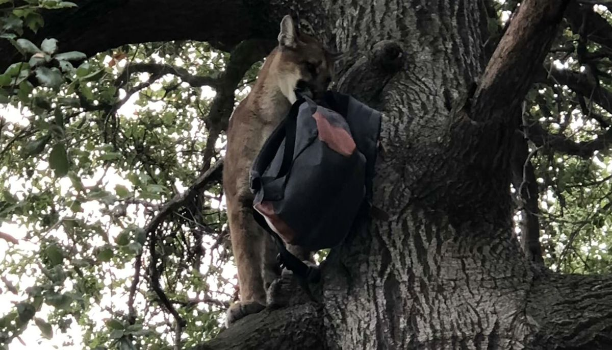 Dad uses backpack to rescue 3-year-old son from mountain lion attack