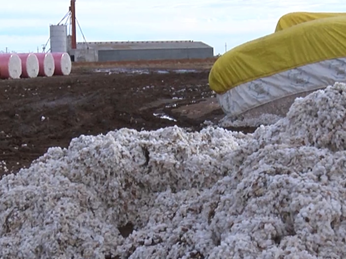 Winter storms, high winds pose problems for late cotton harvest