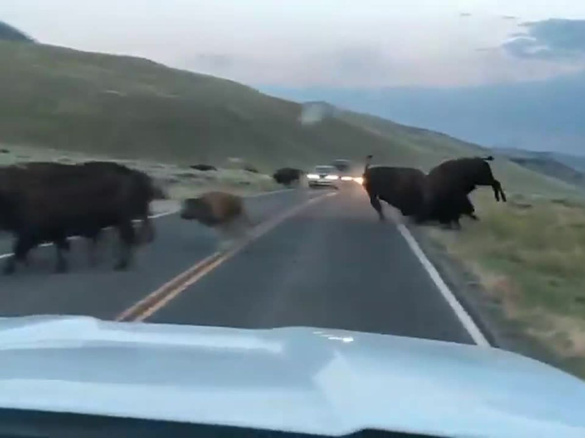 VIDEO: Bison fight in middle of Yellowstone road