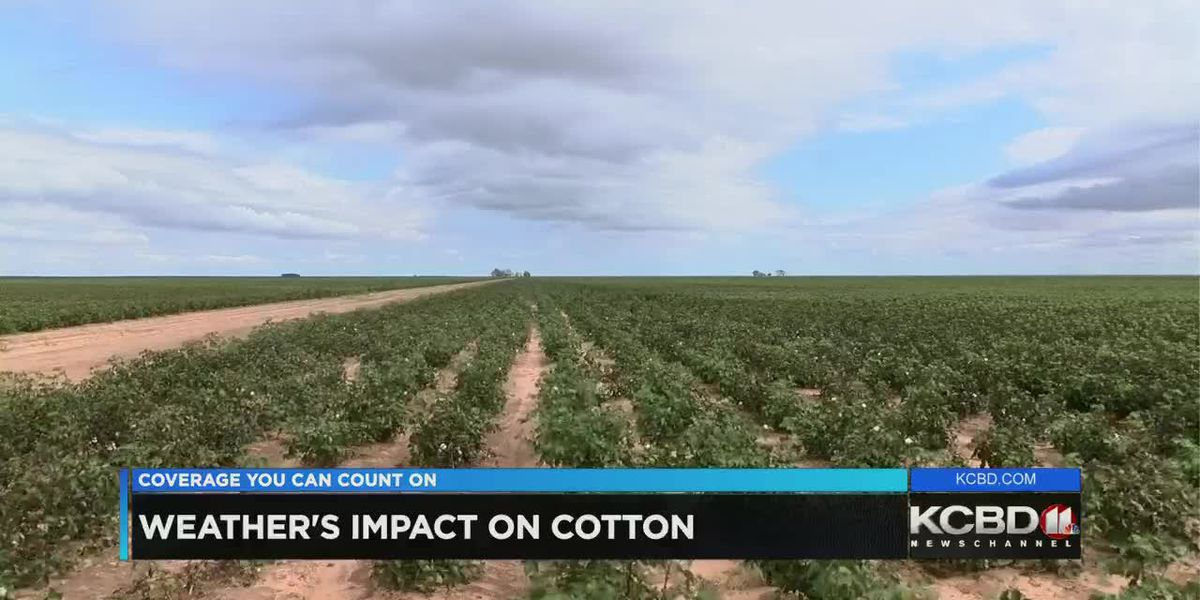 Cold and rainy weather taking toll on cotton crop