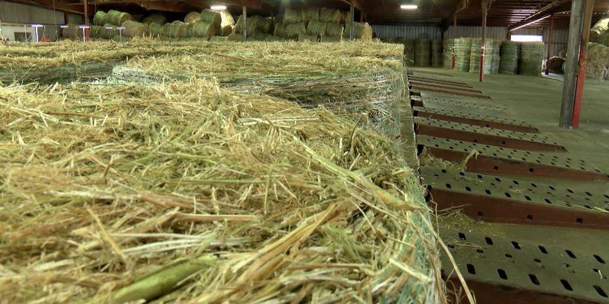 Slaton hemp facility begins processing crop in inaugural season