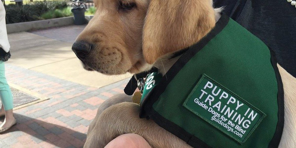 Tech students help raise puppies for Guide Dogs for the Blind