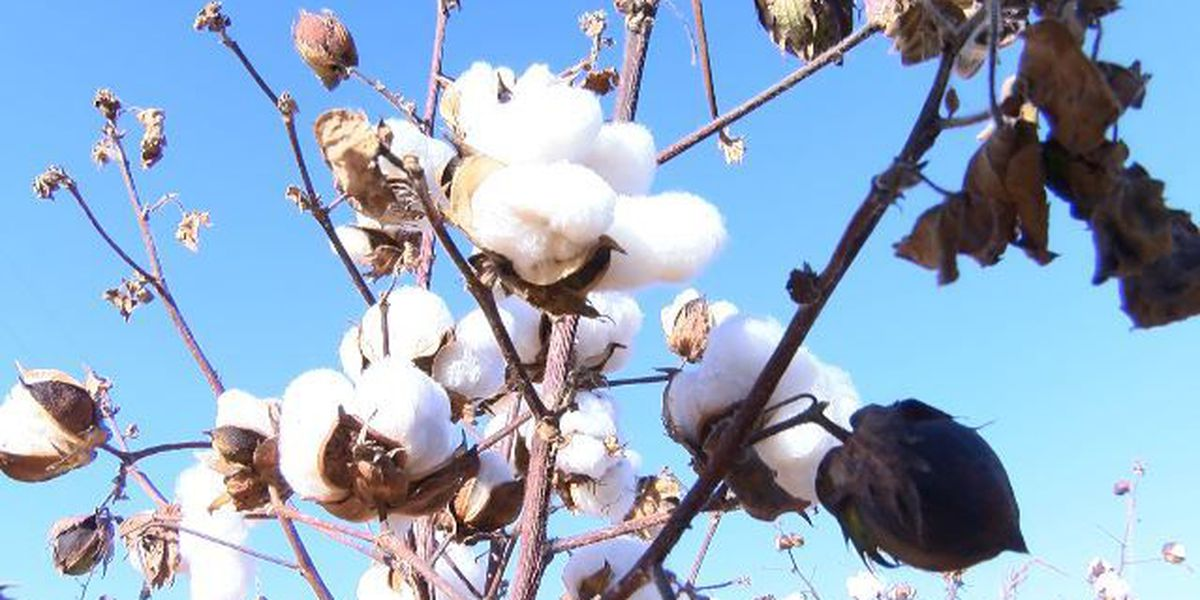 Plains Cotton Growers warn farmers to check source on seed