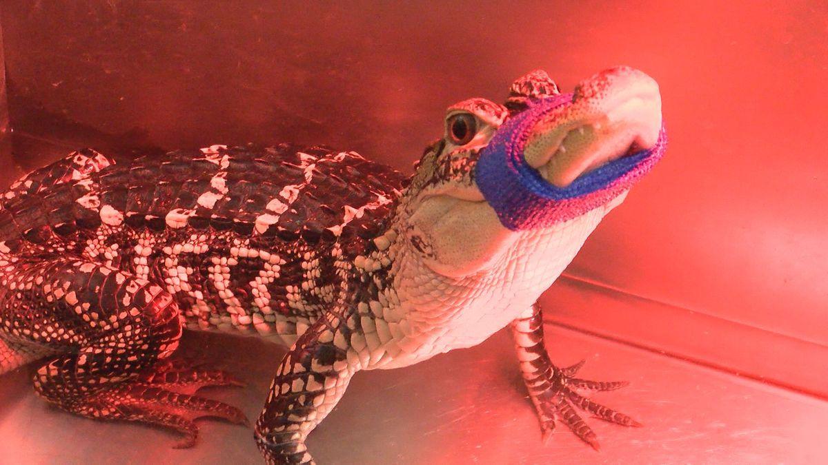 Alligator found in Lubbock Neighborhood waiting to go to Texas Sanctuary