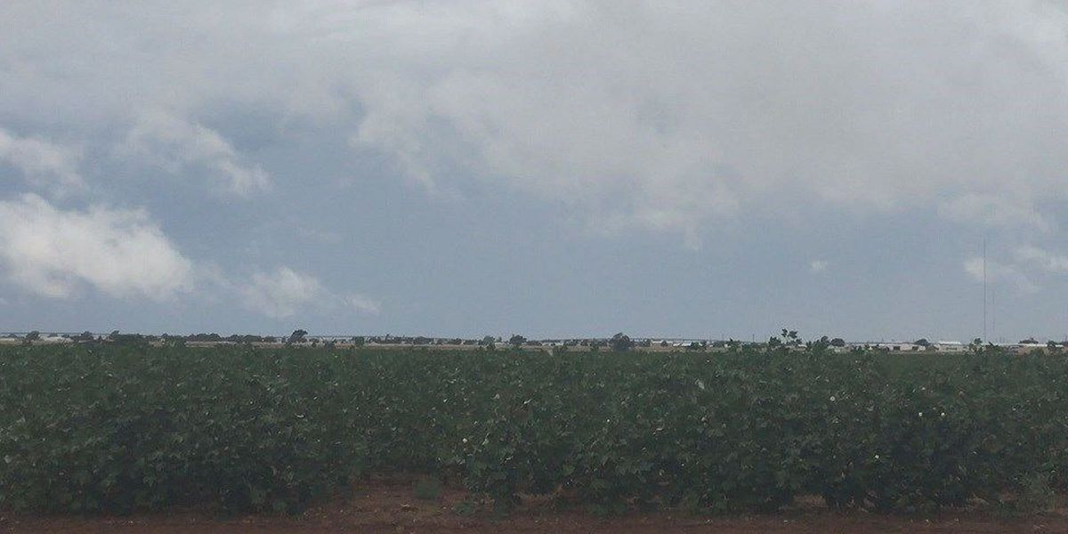 Rain and cooler weather could affect cotton crops